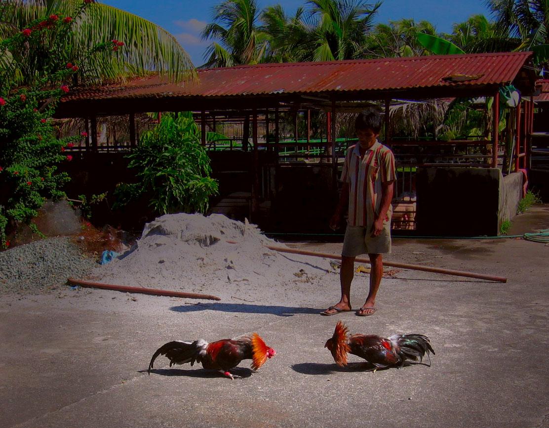 Hahnenkampf auf den Philippinen
